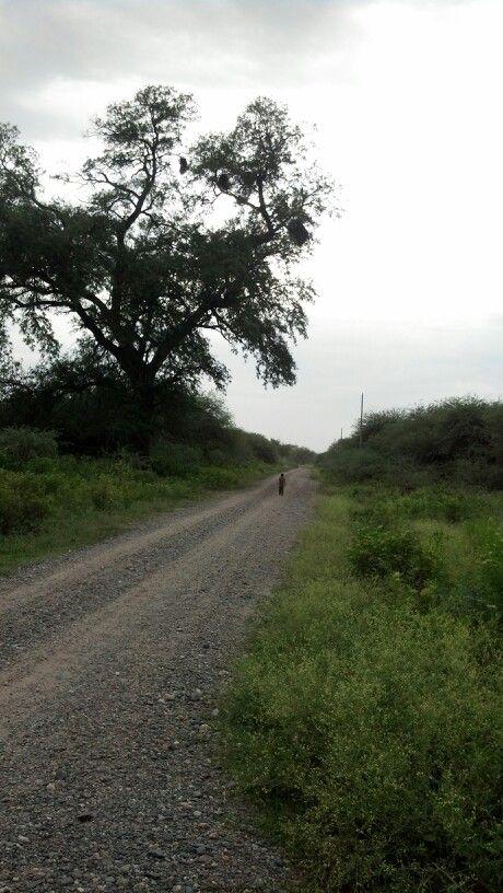Changuito santiagueño. Santiago del Estero. Argentina