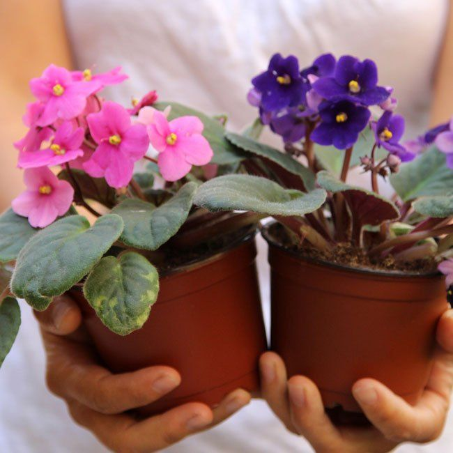 Most indoor plants are foliage plants, but African Violets bloom all the time and come in so many colors!  They are so easy to grow, in fact, you can root a new…