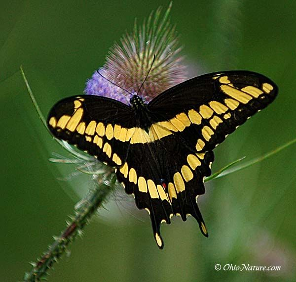 Papilio cresphontes [Giant Swallowtail Butterfly]