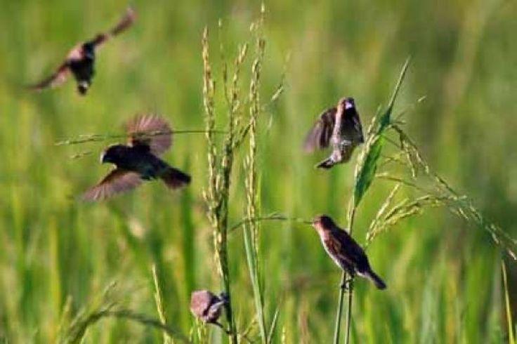 Lewat SMS Siswa SMKN 2 Wonogiri Ciptakan Alat Pengusir Burung di Sawah  Konfrontasi -Siswa SMK Negeri 2 Wonogiri membuat sebuah inovasi untuk mengusir burung yang biasa mengganggu tanaman padi di sawah.  Media pengusirnya berupa orang-orangan sawah yang dibuat dari jerami. Bedanya ada teknologi modern yang ditanamkan pada orang-orangan sawah tersebut.  Pada umumnya perangkat pengusir burung di sawah menggunakan beberapa orang-orangan sawah yang diikat secara paralel. Selanjutnya tali…