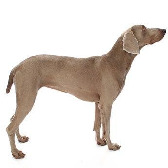 What Is The Large Dog Breed