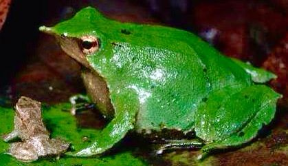 V Frog Kpm 545 best images...