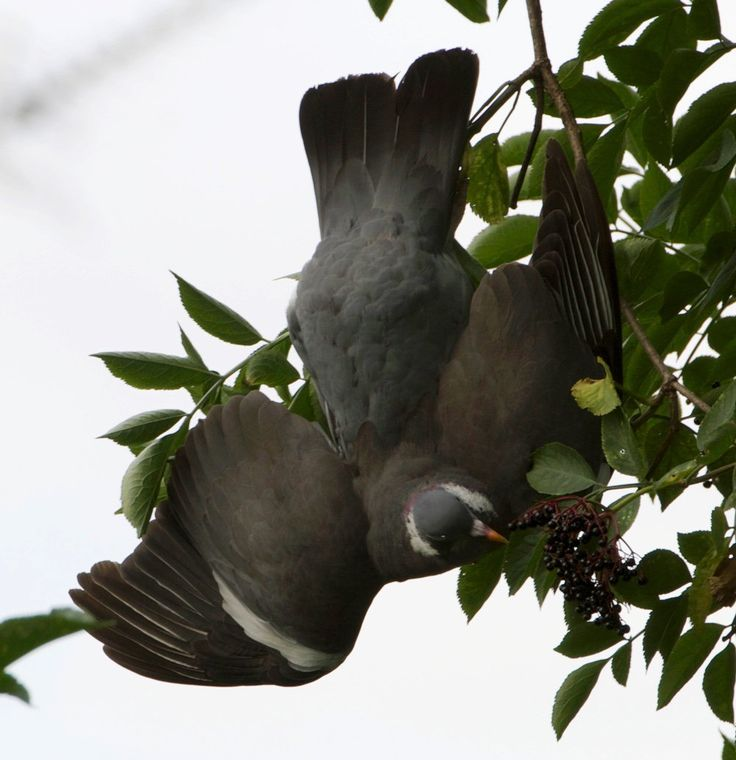 "pagewoman: ""  Wood pigeon by Kellas Campbell """