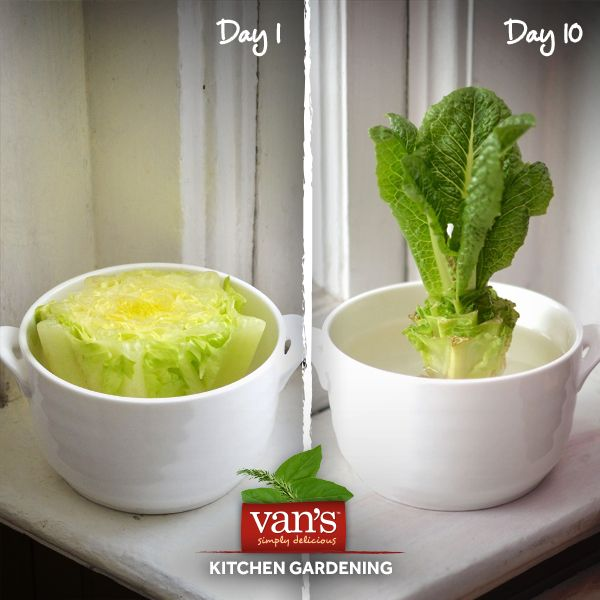 16 Foods That Will Re Grow From Kitchen Scraps: Best 20+ Grow Romaine Lettuce Ideas On Pinterest