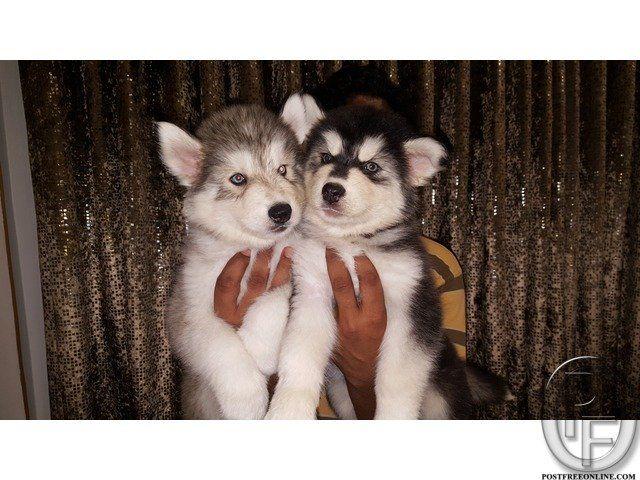 25 Best Ideas About Husky Puppies Price On Pinterest
