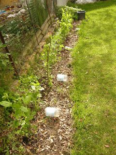 I fiori del mirtillo    Avendo la fortuna di non dover dipendere dal nostro piccolo orto per mangiare abbiamo deciso di sperimentare con...