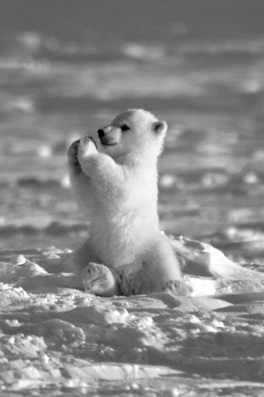 baby polar bear . . . Not my image but I just couldn't resist....Even all of nature praises The Lord!