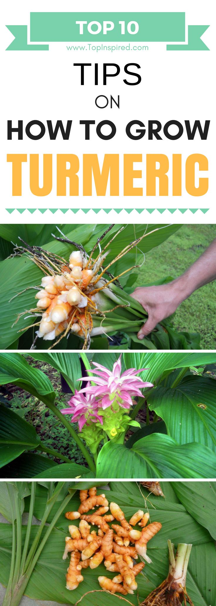 TOP 10 Tips On How To Grow Your Own Turmeric – Flowers & Plants