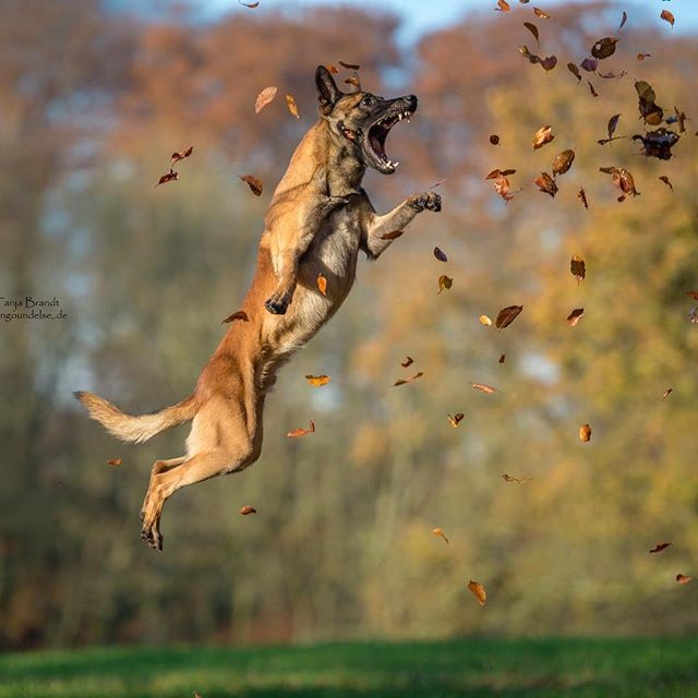 Ingo the Malinois playing in autumn leaves | Tanja Brandt