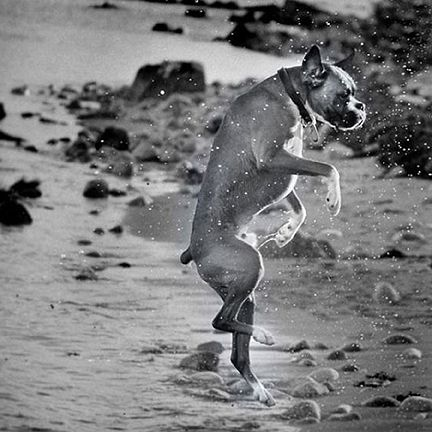 Boxer! - My Boxer looks just like this one! And he hates water unless it's to drink! lol He even walks around puddles!