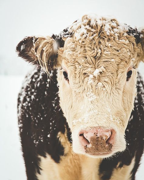French Country Farm Cows Farmhouse Decor Winter Snow Rustic Warm Sepia Brown White Simple Style Farm Country, Fine Art Print