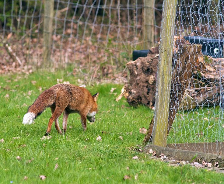 Foxes Will Learn You And Your Chickens Habits So They