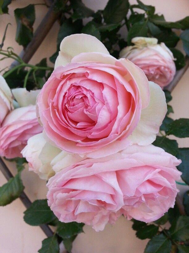 Belle le mie rose