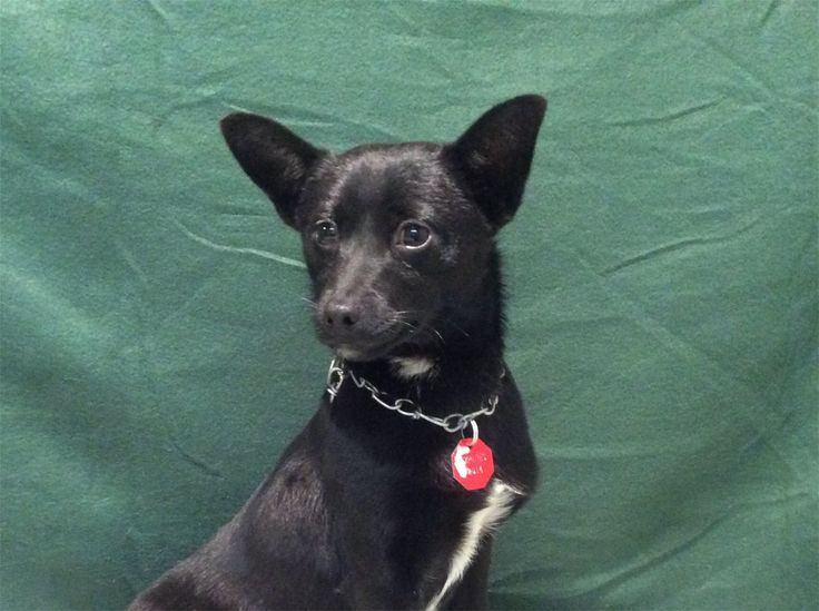 Chihuahua dog for Adoption in pomona, CA. ADN-475081 on PuppyFinder.com Gender: Male. Age: