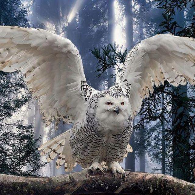 Amazing wildlife - Snowy Owl photo #owls