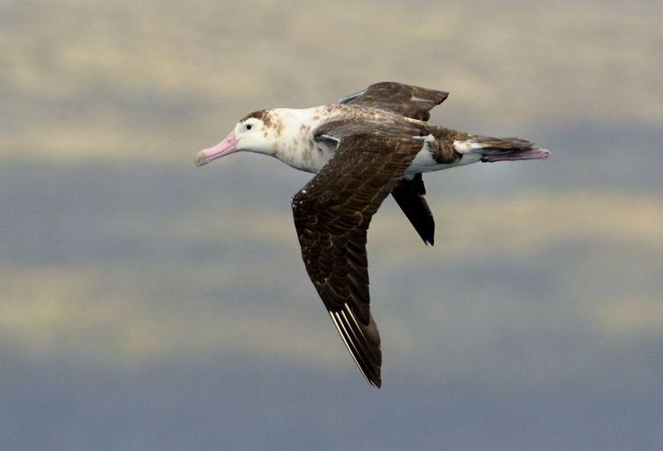 Albatross : Amsterdam Island
