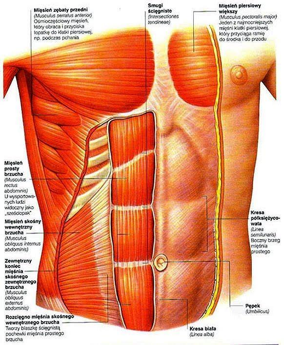 mięśnie brzucha - schemat.jpg