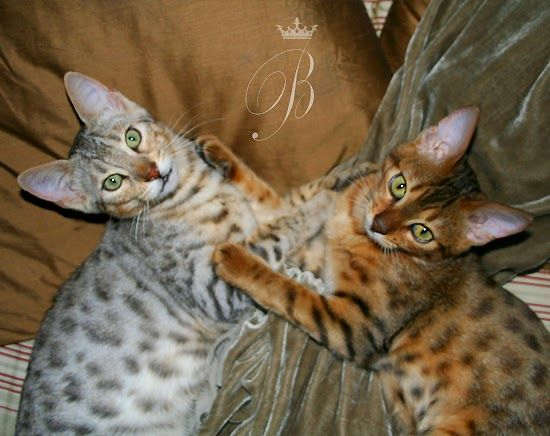 The Mirror Of Eden: Bengal Cats - Inspiration