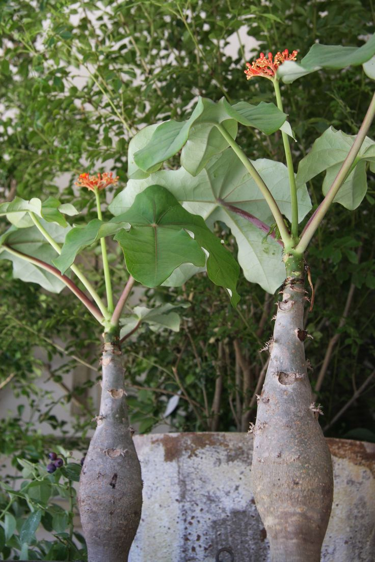 20 best jatropha images on pinterest plant buddha and garden