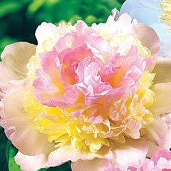 """Raspberry Sundae"" Deluxe Peonies fragrance  Lush raspberry and vanilla-colored petals surrounded by beautiful green foliage."