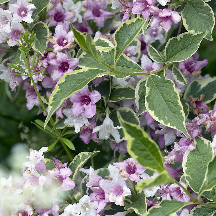 weigela u0027nana shrubs van meuwen - Shade Tolerant Shrubs