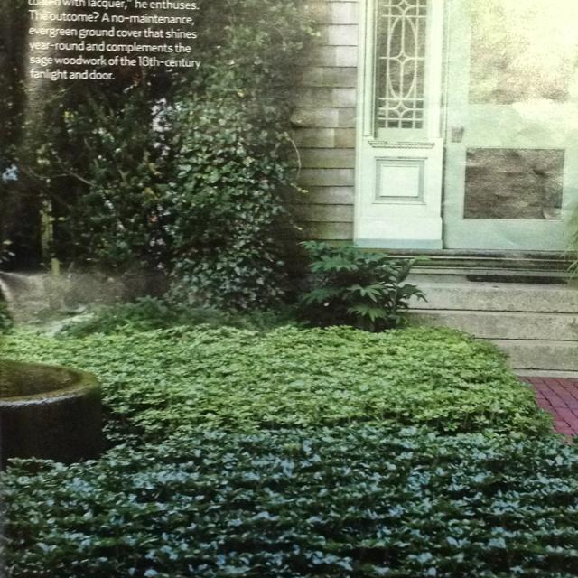 Pachysandra Quot Green Sheen Quot No Maintenance Evergreen Ground