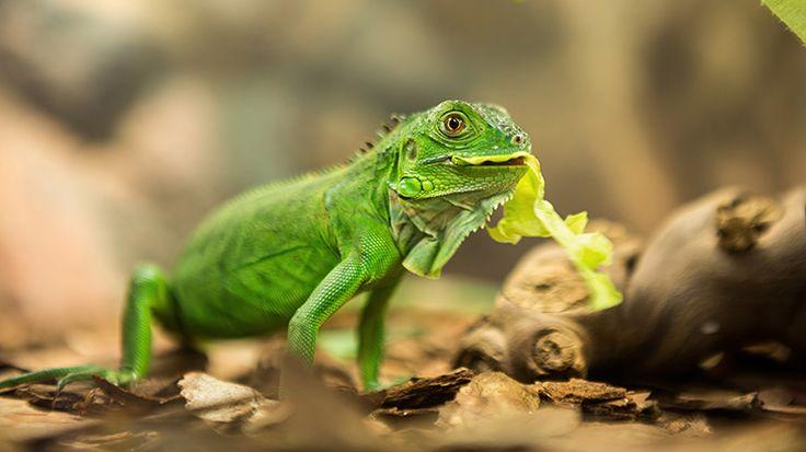 #Tier #Magazin: Grüne #Leguane - schöne Exoten im #Terrarium - https://www.tier-magazin.com/645-gruene-leguane-schoene-exoten-im-terrarium.html