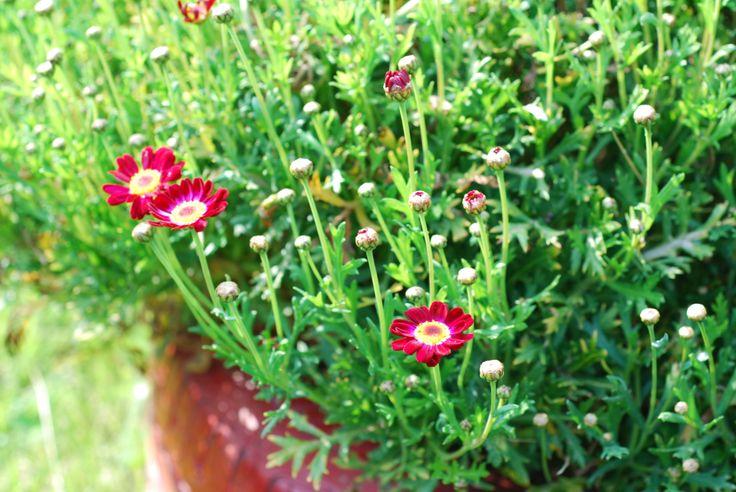 Aysegul's flowers...