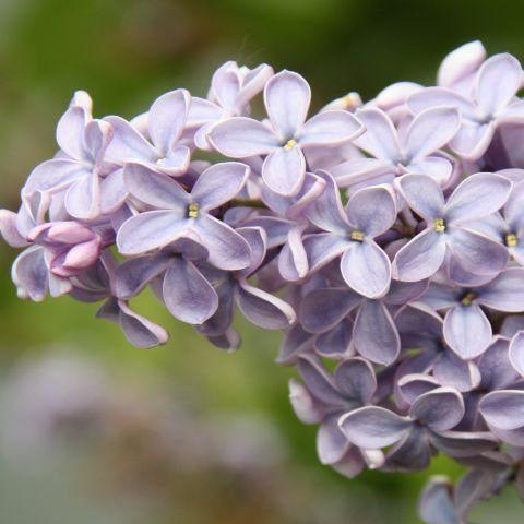193 best images about flieder lilac on pinterest. Black Bedroom Furniture Sets. Home Design Ideas