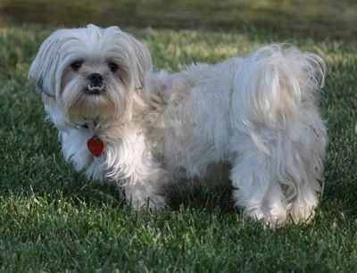 Peke-A-Tese (Maltese X Pekingese Mix) Info, Temperament, Training, Puppies, Pictures