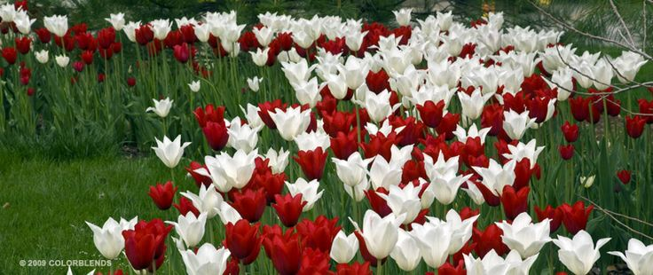 Tulip Heart ™   Colorblends of Tulips Bulbs for Sale   COLORBLENDS