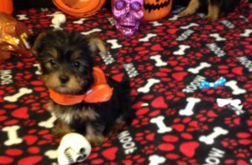 Male and Female Beautiful Yorkie Puppies. I have two beautiful Yorkie puppies for adoption, Male and Female. They come with full AKC Registration. They are ready to become your life long com...