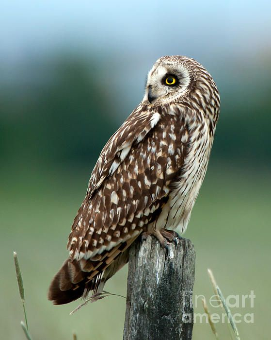 The short-eared owl (Asio flammeus) looking back sitting on an old wooden post.