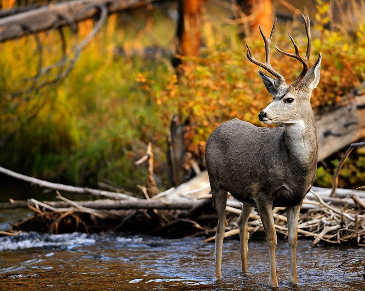 fall animal pictures Mule deer buck standing in a stream