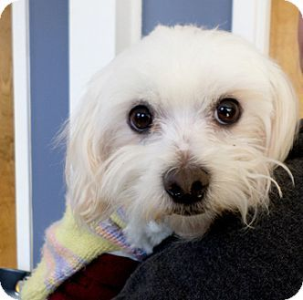 Atlanta, GA - Maltese. Meet Tom Selek*Adopted, a dog for adoption. http://www.adoptapet.com/pet/12551361-atlanta-georgia-maltese