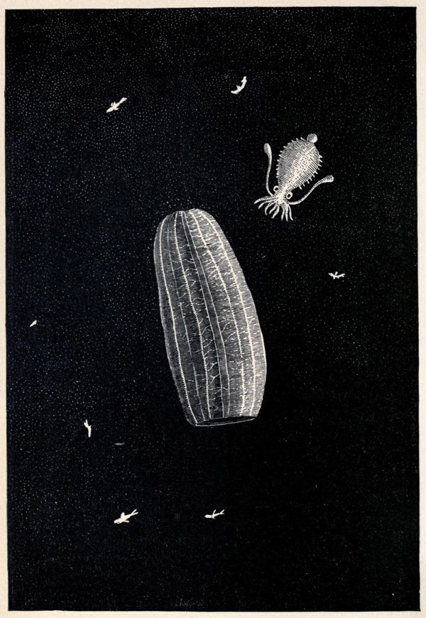 From Living Lights: A Popular Account of Phosphorescent Animals and Vegetables by Charles Frederick Holder, 1887.: Charles Frederick, Popular Accounting, Illustrations, Living Lighting, Frederick Holders, Phosphoresc Animal, Vegetables, Trav'Lin Lighting, Holders 1887