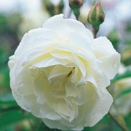 La Rosa polyantha 'Iceberg' aussi appelé 'Fée des neiges' joue de ses roses comme de cristaux de glaces. Mi-doubles, s'ouvrant à plat, elles...