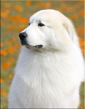 Great Pyrenees - SO BEAUTIFUL, LOVE LARGE BREED DOGS.