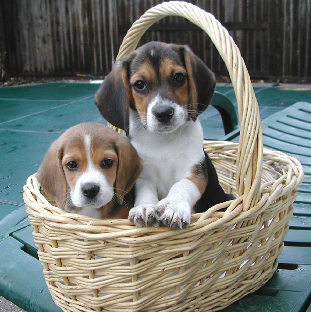 Beagle puppies in a basket - Auburn Beagles