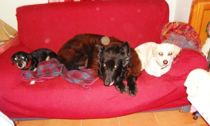 """""""Hola, tengo tres perros sin raza y son mis tres amores, así como los otros perros que he tenido . Ahora conmigo están Queti que va a cumplir 14 años, mezcla de pastor alemán y pastor belga, y Linda y su hijo Thor""""."""