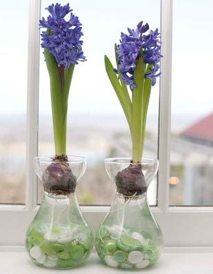 How to Grow Hyacinths Indoors by P. Allen Smith http://www.pallensmith.com/articles/how-to-grow-hyacinths-indoors