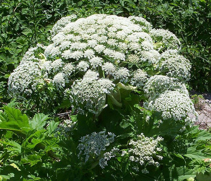 File:Rbk dolde.jpgThe giant hogweed plant (Heracleum mantegazzianum), is an invasive plant that grows throughout the British isles, northern United States and southern Canada. It looks very similar to harmless cow parsnip. The easiest way to identify the giant hogweed is from the stems, which are green with obvious purple spots, as explained by CBS News.