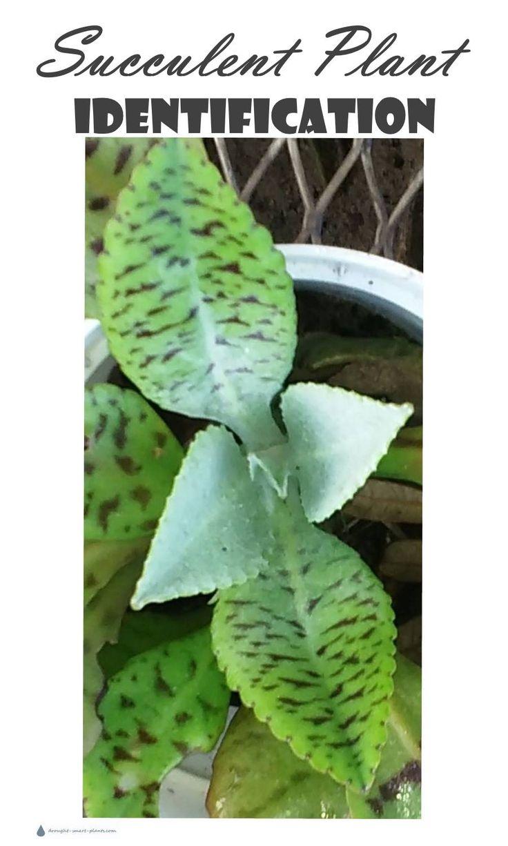 sumptuous design ideas green house plant identification. Succulent Plant Identification 1153 best Drought Smart Plants the Website images on Pinterest