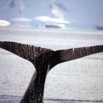 Staart van een bultrug, Antarctica, 1997