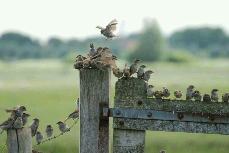 """A 'Dissimulation' of Birds ~ """"Sitting On The Fence."""""""