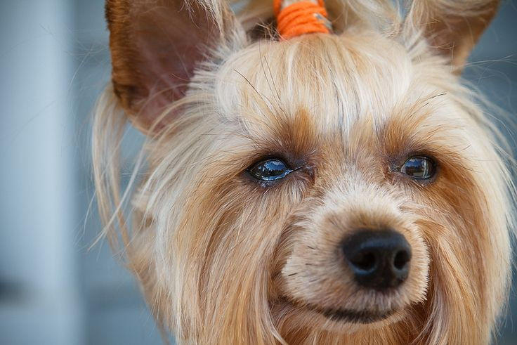 17 best ideas about yorkie hairstyles on pinterest