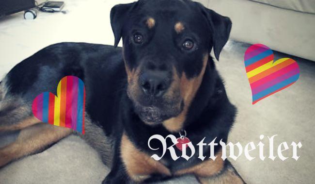 犬仲間と育つことは大切だ強面先輩ロットワイラーがビーグルの子犬に愛情あふれた教育を施す動画