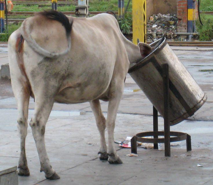 Buscando comida en una estación india