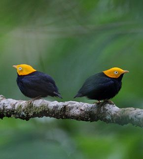 Trinidad Birding Tour with FIELD GUIDES: Trinidad and Tobago    yellow headed manjkin