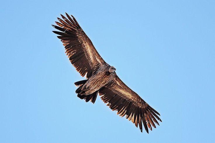 Himalayan Griffon Vulture - Large Bird of Prey #birds #nature